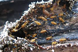 The Definitive Guide to Termite Control Start Local