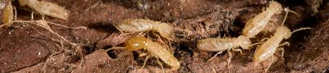 9 Simple Techniques For Termite Control Use