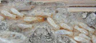 Little Known Facts About Termite Control Methods.