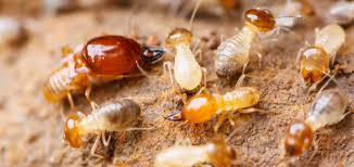 Excitement About Termite Control Recommendations