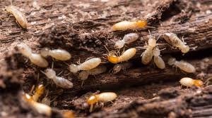 What Termite Control Can Be Fun For Anyone