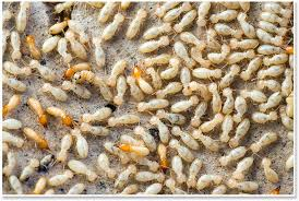 The Facts About Who Is Termite Control Uncovered