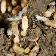 The Only Guide to Termite Control Online