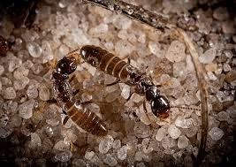 Some Of Termite Control Home Remedy