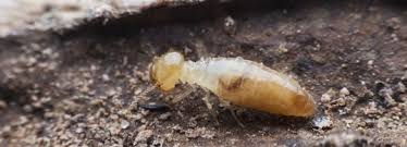 9 Easy Facts About What Termite Control Shown