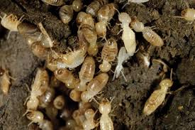 Not known Details About Osheas Termite & Pest Control Adelaide