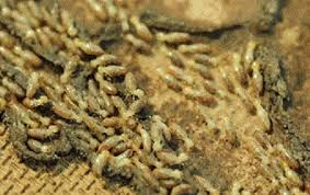 Everything about Termite Control Flying Solo