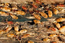 Termite Control Flying Solo - The Facts