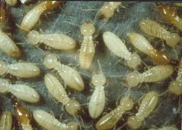 Some Of Termite Control Oil