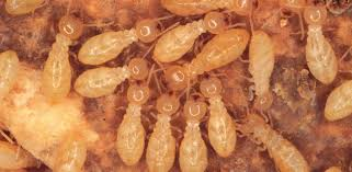 Termite Control Tech Can Be Fun For Everyone